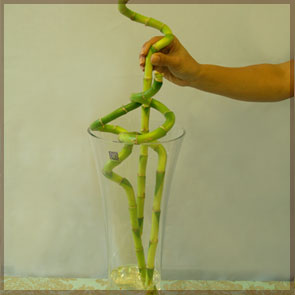 Home Decor and Handicraft: Curly Bamboo Placed in Glass Vase
